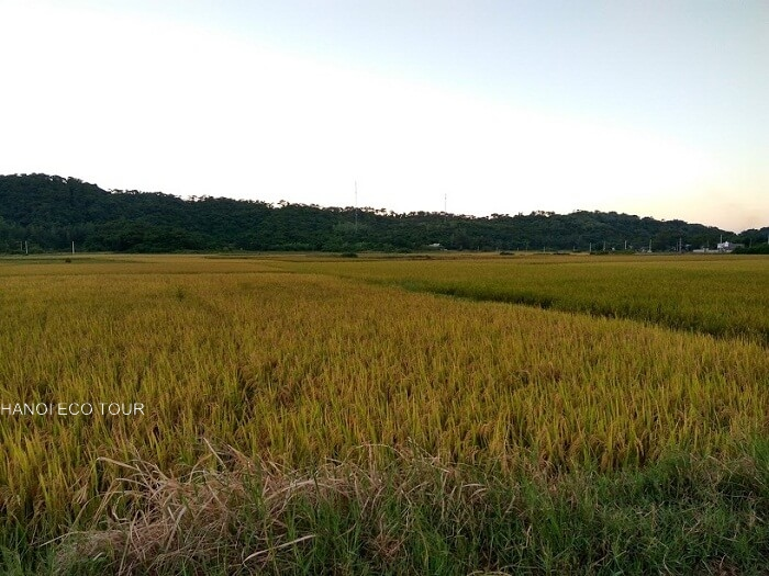 Rice field in Coto island