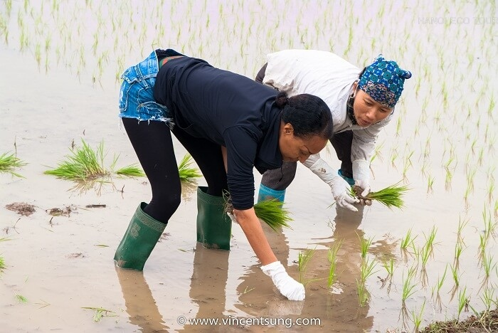 Grow rice in Vietnam