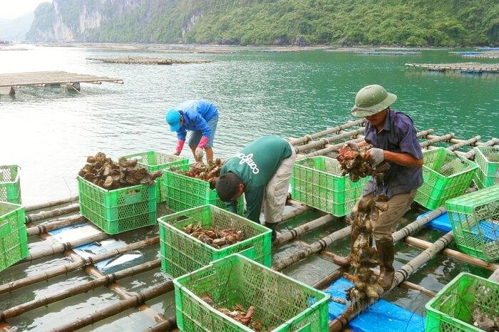 Oyster farm Bai Tu Long
