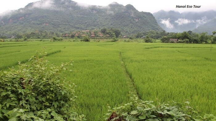 Rice paddy field in Mai Chau