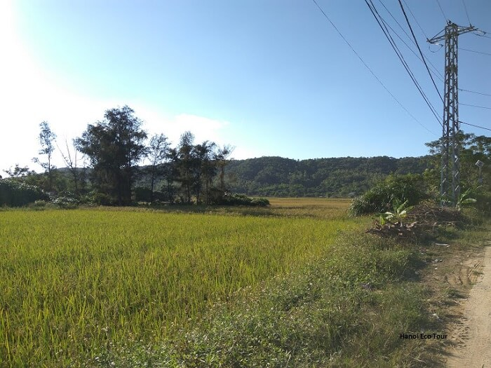 Rice paddy field in Coto island