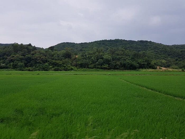 Green rice paddy field on Thanh Lan island