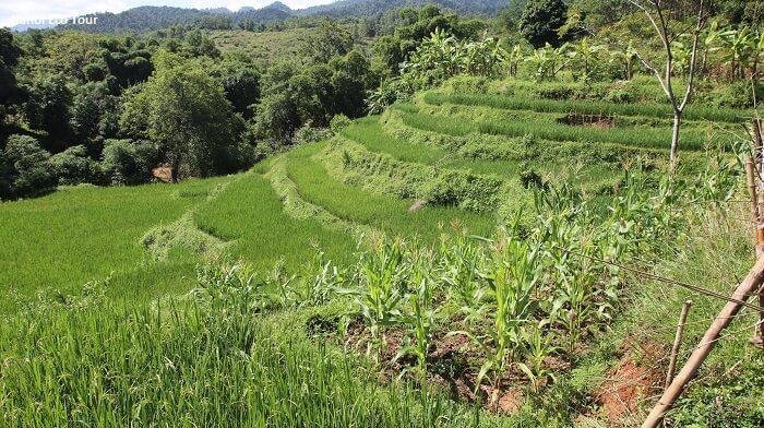 Rice paddy field in Mai Chau