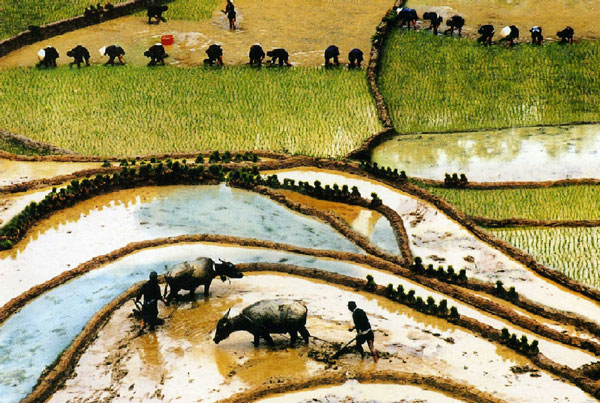 Vietnamese rice farmers