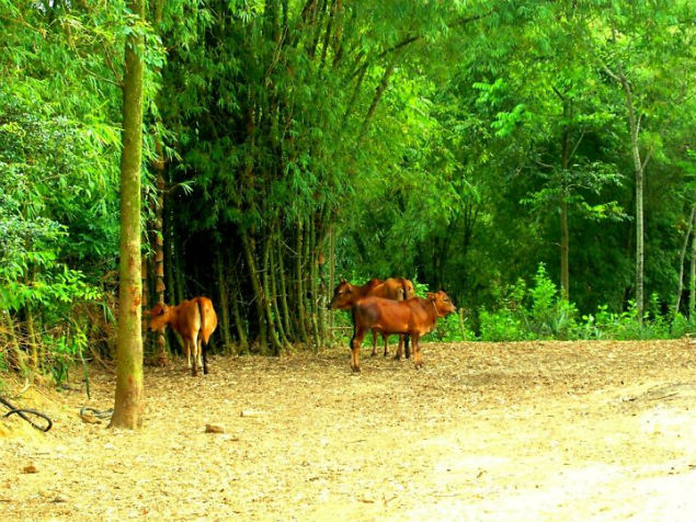 cow-hanging-out-under-the-bamboo