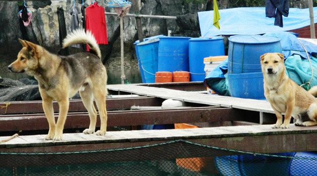 dog-watching-house-in-floating-village-in-halong-bay