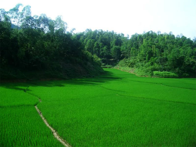 Mai Chau green rice field