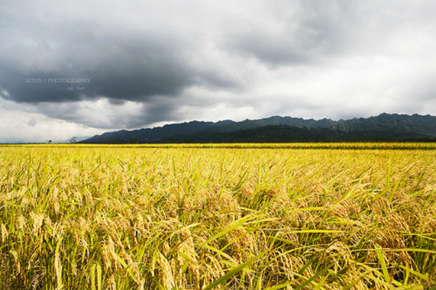 yellow-rice-field