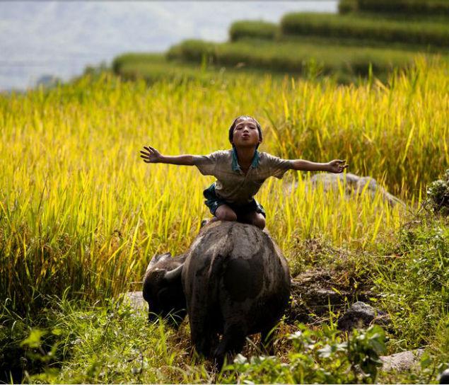 water-buffalo-vietnam-herding